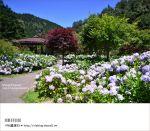 【杉林溪繡球花】南投山中新秘境!浪漫的紫色花園~繡球花大盛開!