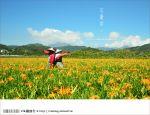 【日月潭金針花2012】南投金針花季~頭社金針花!黃澄澄的盛開中!