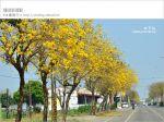 【黃金風鈴木】台灣最美、最長的黃金之路!就在彰化溪州台一線~