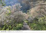 【南投梅花秘境】仁愛鄉「西伯梅園」~和互助國小梅園來個賞梅一日遊