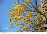 【台南黃金風鈴木】台南市林森路的黃金大道‧黃澄風鈴木繽紛綻開~