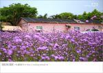 【桃園景點一日遊】親子旅遊景點~青林農場‧紫色馬鞭草花海無敵浪漫!