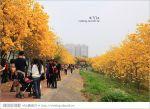 【嘉義景點】嘉義軍輝橋黃金風鈴木~全台最美的堤防!開滿滿的風鈴木美炸了!