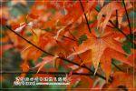 【谷關之旅】不經意的秋冬賞楓之旅~楓葉紅了