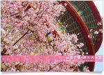【淡水天元宮】淡水天元宮櫻花-賞花之旅全記錄