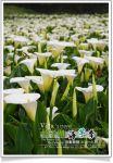 【2009竹子湖海芋季】台北陽明山竹子湖海芋季活動