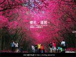 【九族櫻花季】櫻花滿開!最浪漫的九族文化村櫻花季