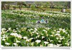 【2010竹子湖海芋季】2010竹子湖海芋季~陽明山竹子湖海芋季活動