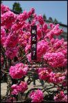 【梅峰農場桃花緣】最美的桃花隧道,就在南投梅峰這裡~(上)