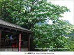 【新竹桐花季】推薦賞桐必去景點~歇心茶樓