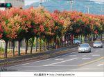 【台中】台灣秋天最美的街道!台中大坑發現美麗的台灣欒樹~