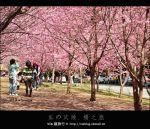 【武陵農場】全台最美的賞櫻聖地~via的武陵農場櫻花遊記(上篇)