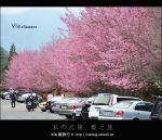 【武陵農場櫻花季】武陵茶莊賞櫻趣~via超愛的櫻花聖地(下篇)