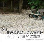 【2011客家桐花祭】桐花最新情報~彰化挑水古道賞桐花