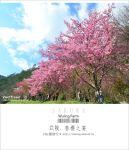 【2012武陵櫻花】武陵賞櫻!粉紅佳人大盛開~全台第一的賞櫻聖地!